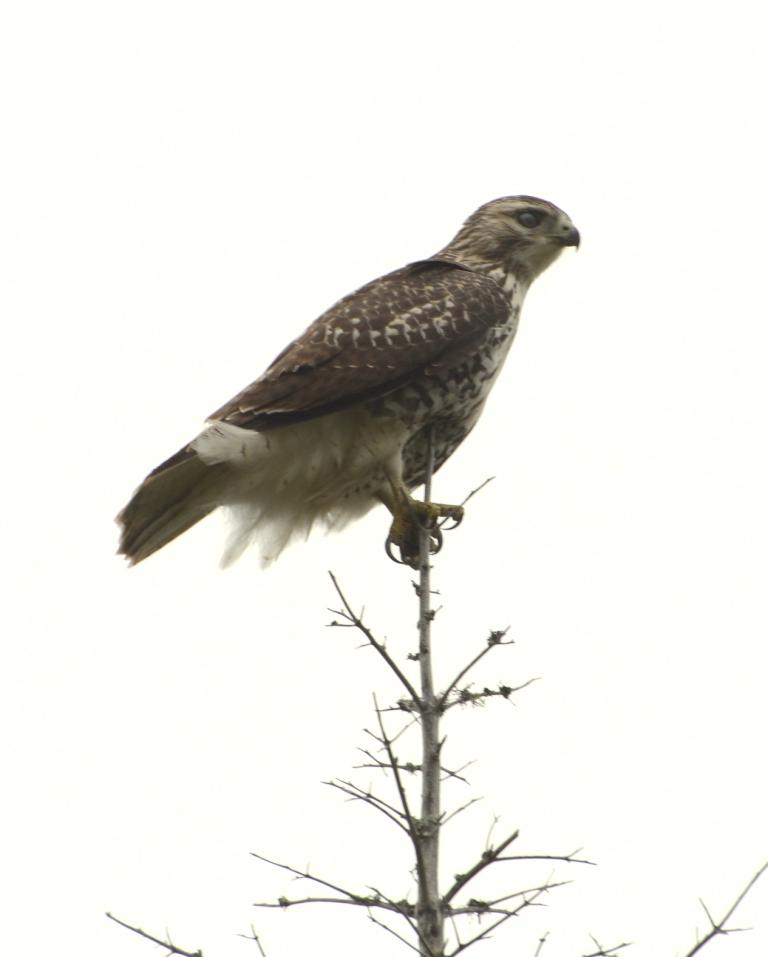 Un rapace à identifier Oiseau13