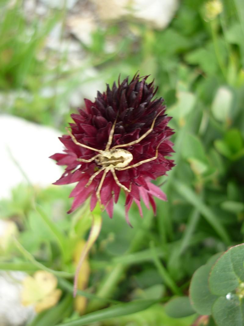 Polinisateurs d'Orchidées P1000910