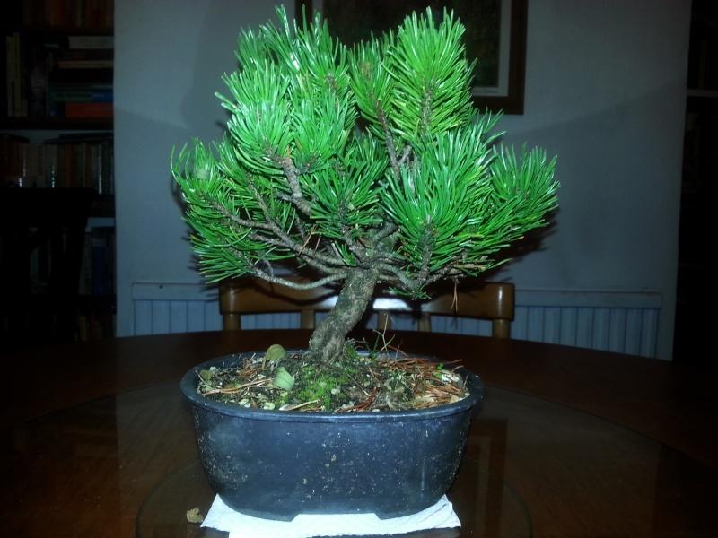 New Pine Shohin Mounta11