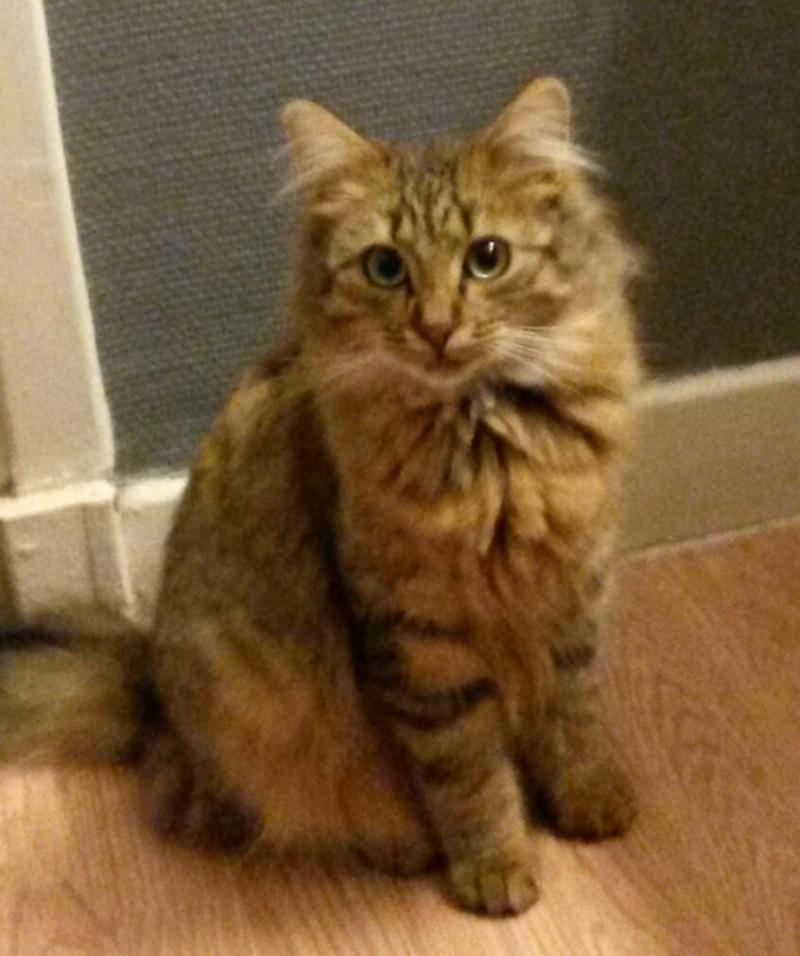 des nouvelles de ZAZOU chat tigré angora 16612