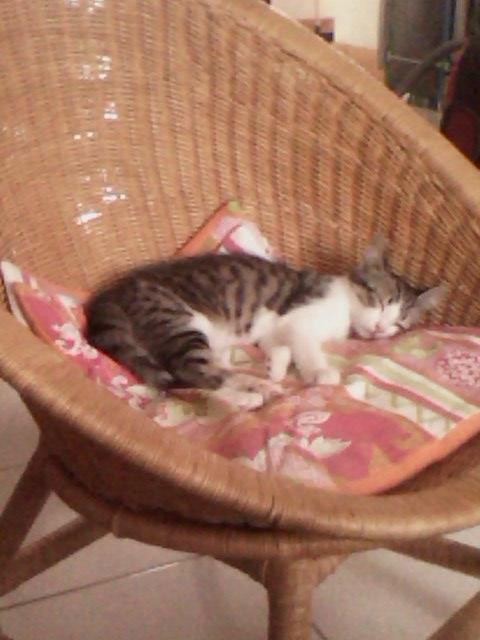 June, chatonne tigrée blanche née le 11/04/2014 Img00010