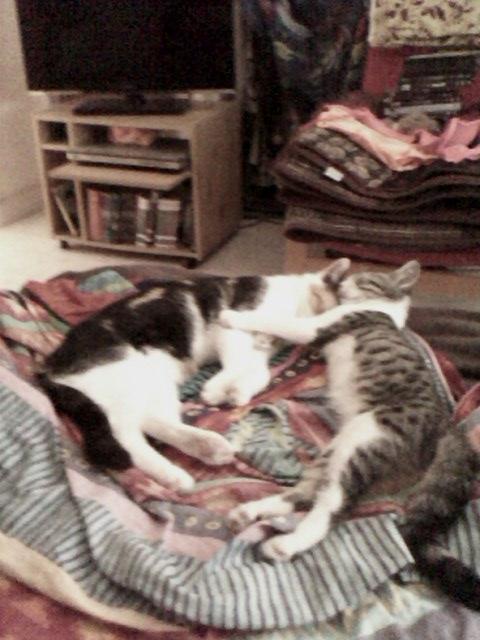 June, chatonne tigrée blanche née le 11/04/2014 Img00114