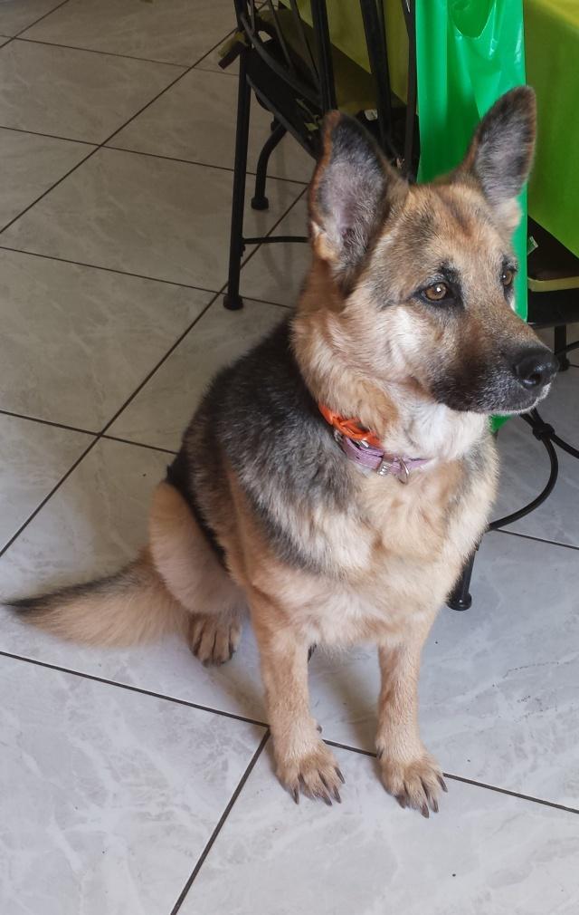 RESOLU, DORA ADOPTEE : cherche accueil chez personne douce et motivée pour juillet août pour Dora, gentille bergère 25kg Dora_113
