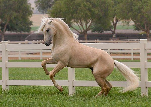 Масти лошадей (с фото) 04904810