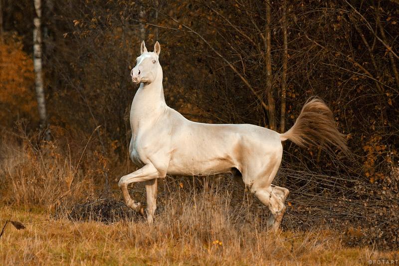 Ахалтекинская порода лошадей 0_d05b10