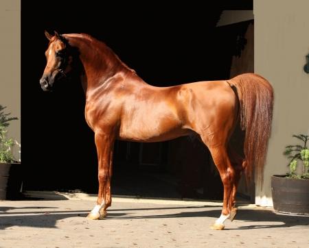 Арабская порода лошадей 13623110