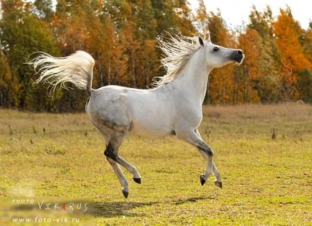 Арабская порода лошадей 13643010