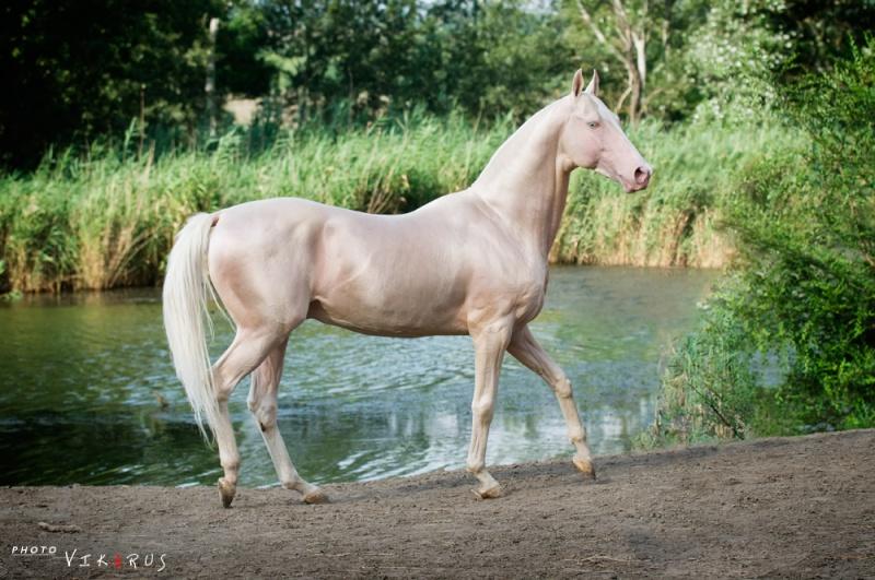Масти лошадей (с фото) 13959013