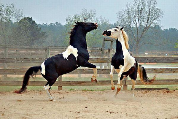 Масти лошадей (с фото) Beauti10