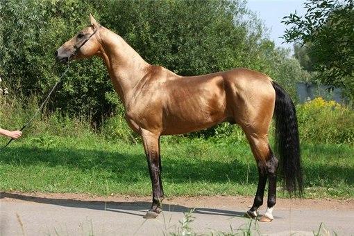 Ахалтекинская порода лошадей Idrffw10