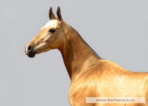 Ахалтекинская порода лошадей Post-110