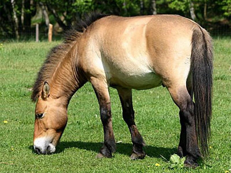 Масти лошадей (с фото) Savras10