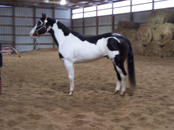 Масти лошадей (с фото) Splash10