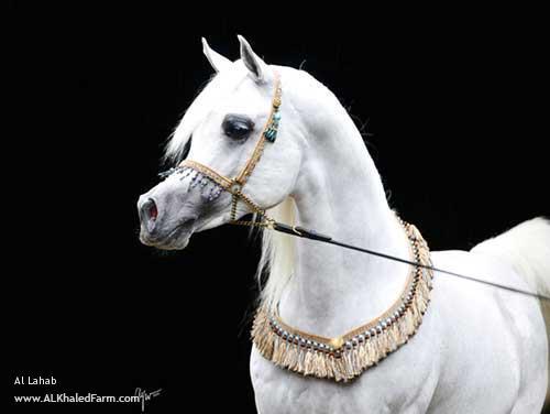 Арабская порода лошадей Thumbf10