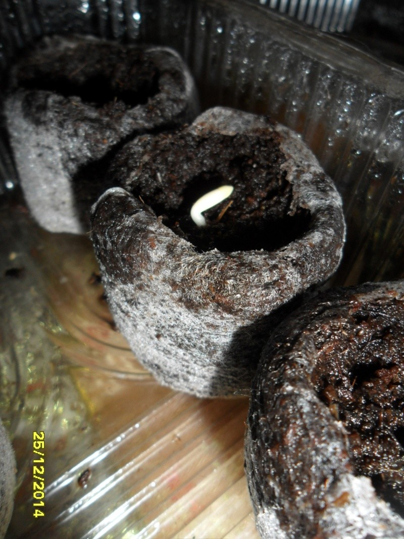 Выращивание Адениумов из семян Sam_0112