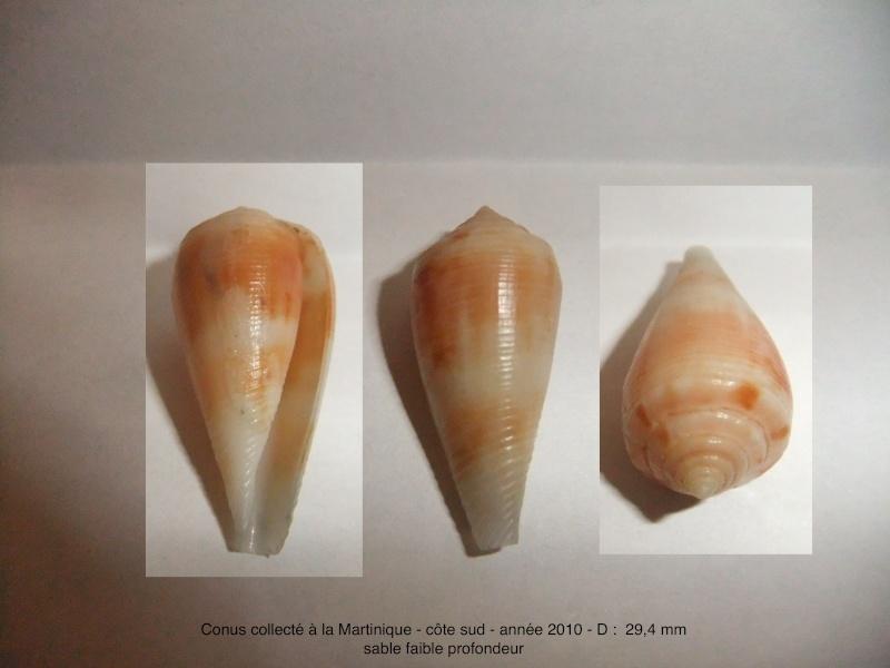 Conus trouvé à la Martinique en 2010 = Conus granulatus Dscf1511