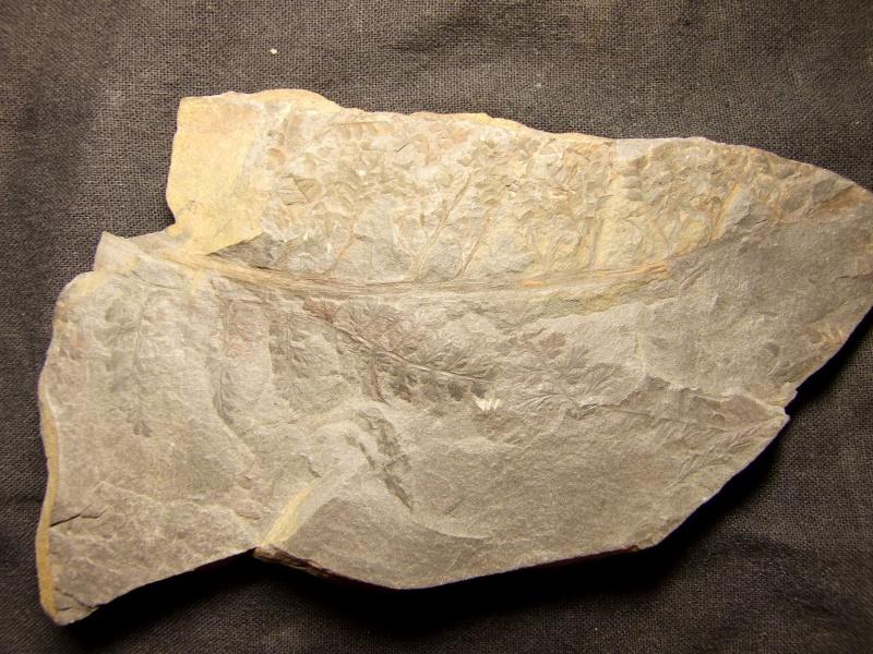 Sphenopteris ( Brongniart ) Sternberg , 1825 .  Spheno11