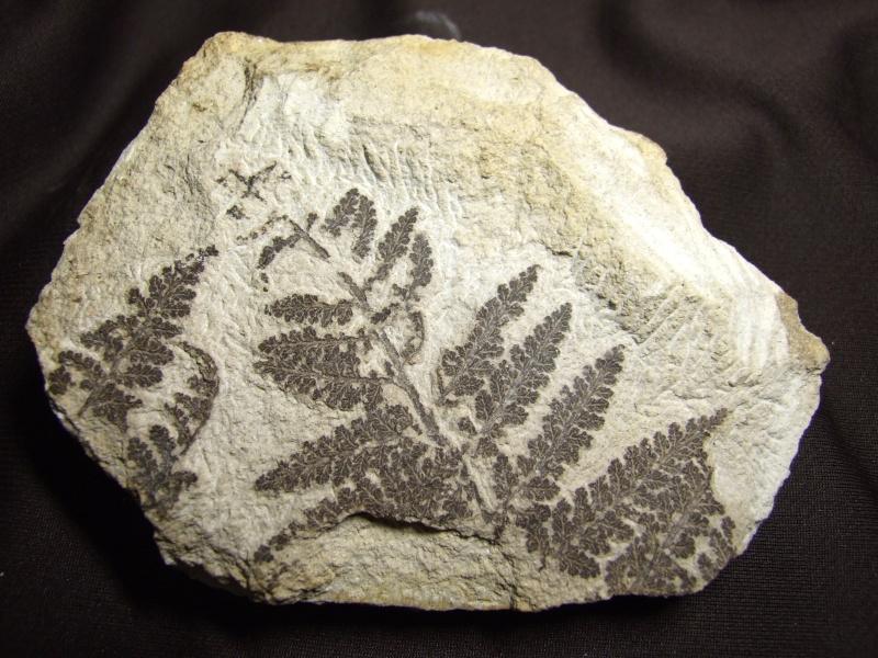 Sphenopteris ( Brongniart ) Sternberg , 1825 .  Spheno13
