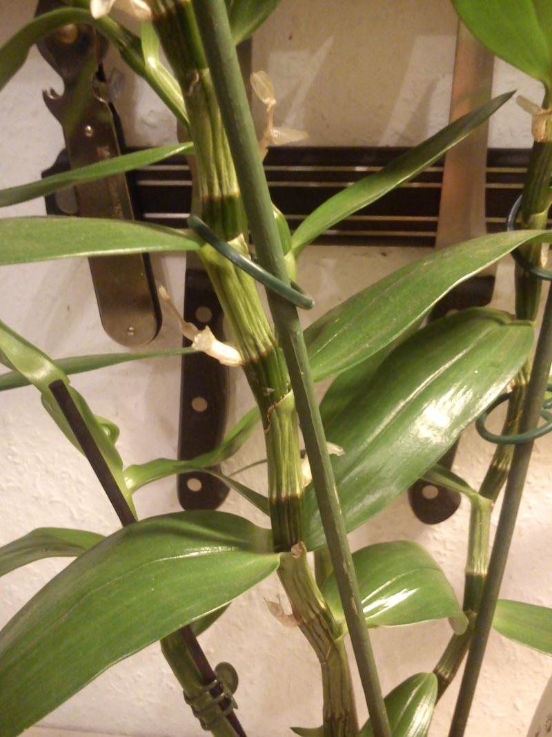 Hallo und Frage zu 2 Orchideen vermutlich Dendrobium  Dsc_0813