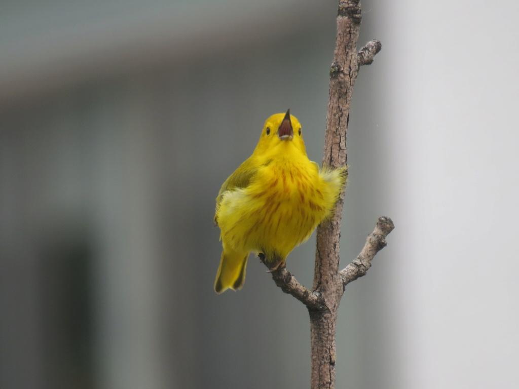 Paruline jaune en ville Img_6813