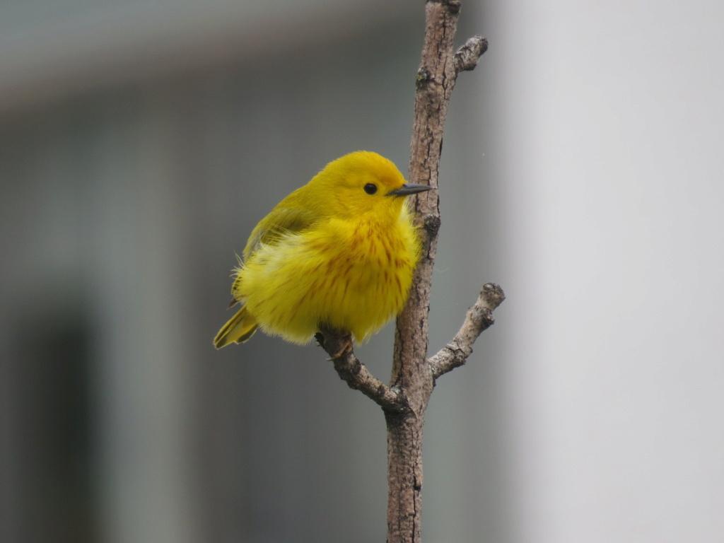 Paruline jaune en ville Img_6814