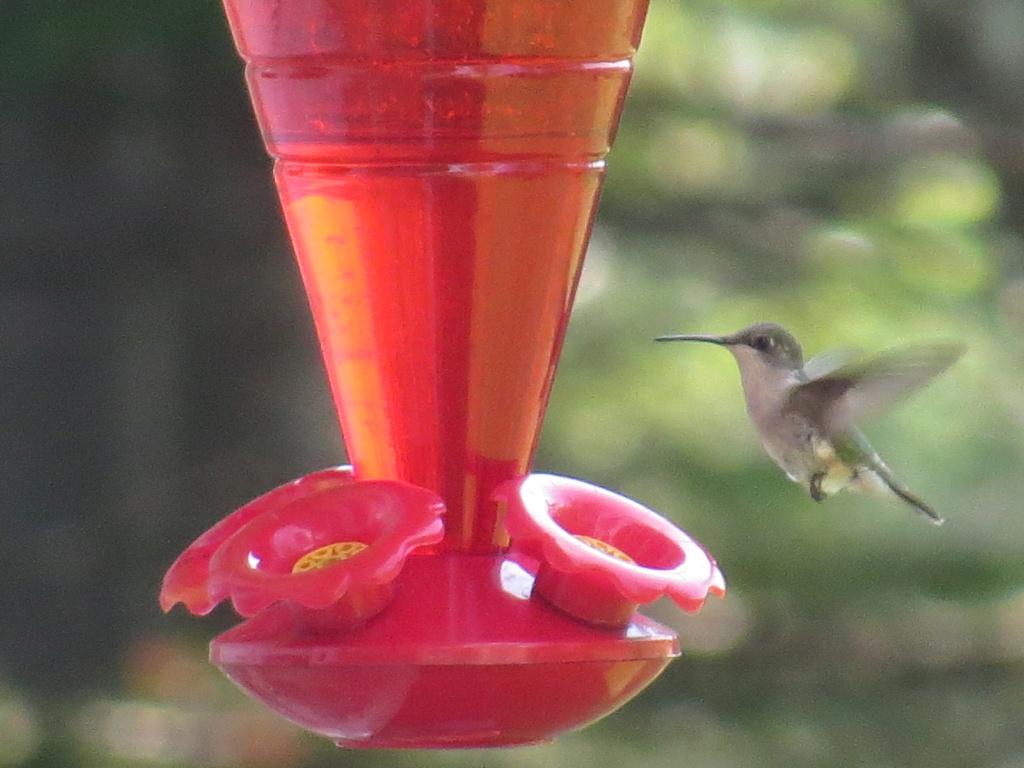 Colibri à gorge rubis Img_6917