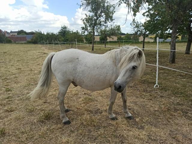 KIWI - ONC poney typé Shetland né en 1998 - adopté en juillet 2015 par Alexandra 311