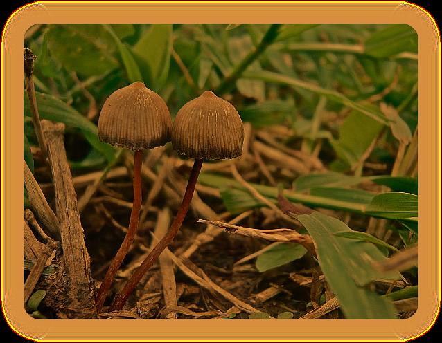 Культ грибов у индейцев племени мазатек. Psilot10
