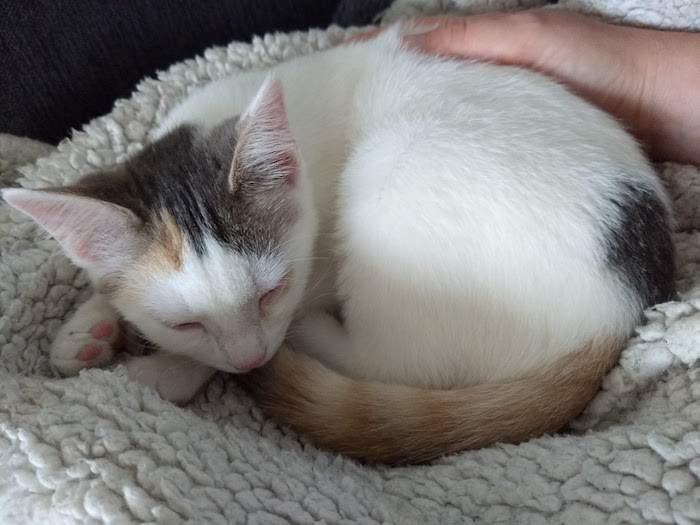 ODEMA, femelle tricolore, née le 08/05/2018 Img_2141