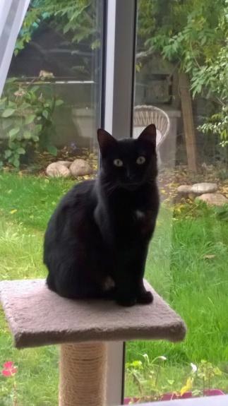 NOLLIE, femelle Noir, type européen née en Octobre 2017 Wp_20116