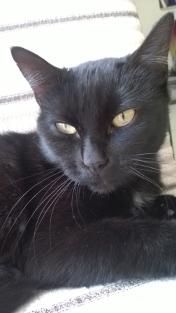 NOLLIE, femelle Noir, type européen née en Octobre 2017 Wp_20118