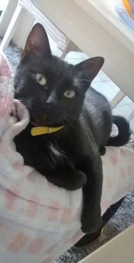 NOLLIE, femelle Noir, type européen née en Octobre 2017 Wp_20127