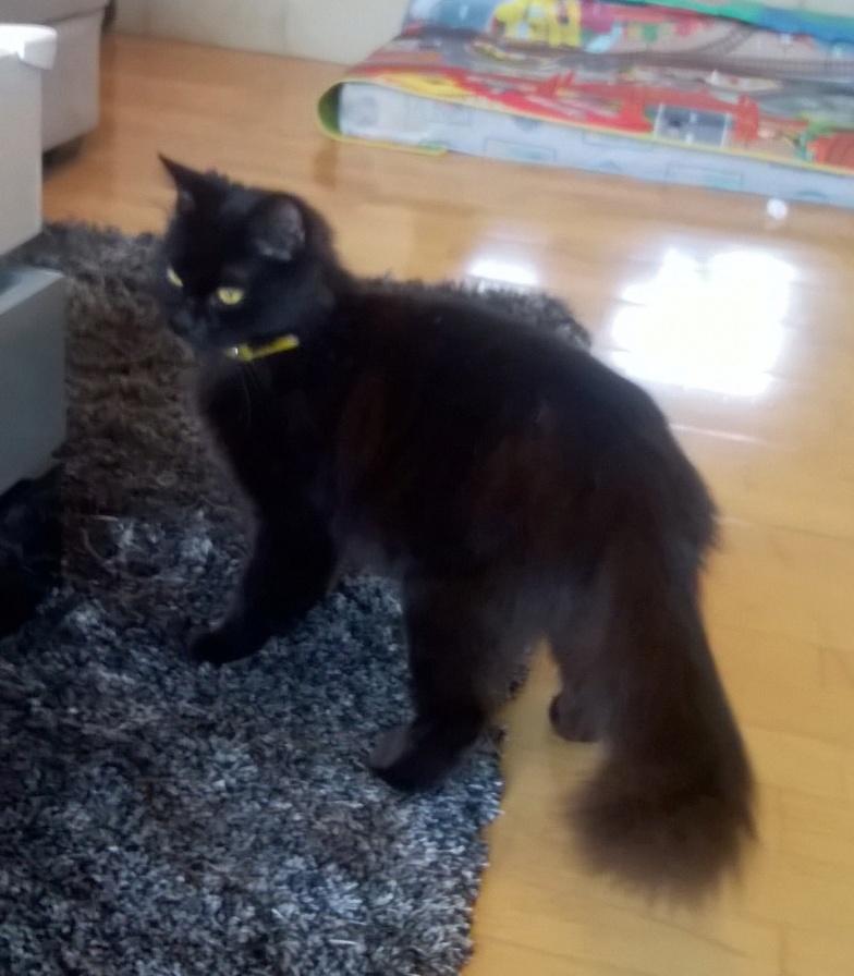 JOLANTA, Femelle noire, type européen née en février 2014 Wp_20140