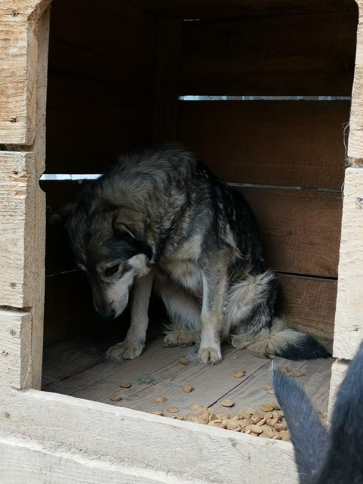 WOLFINE -  femelle croisée de taille moyenne, née en 2012 (PASCANI) - REMEMBER ME LAND 61190110