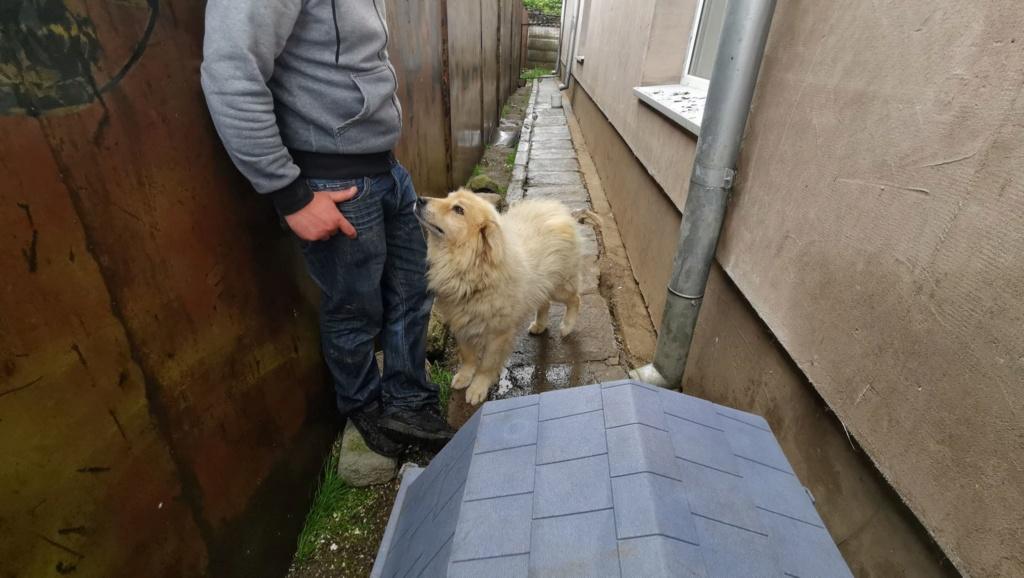 POUFFY - Mâle croisé golden retriever / chow chow taille moyenne - Né environ en juin 2007 - en FA chez Van_Do (84)  61447910