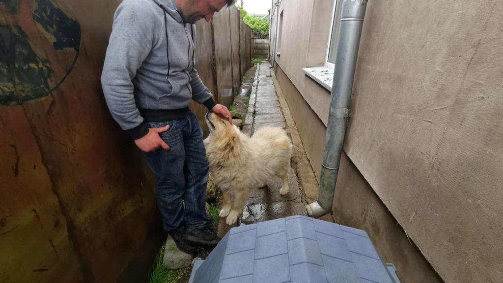 POUFFY - Mâle croisé golden retriever / chow chow taille moyenne - Né environ en juin 2007 - en FA chez Van_Do (84)  61768410