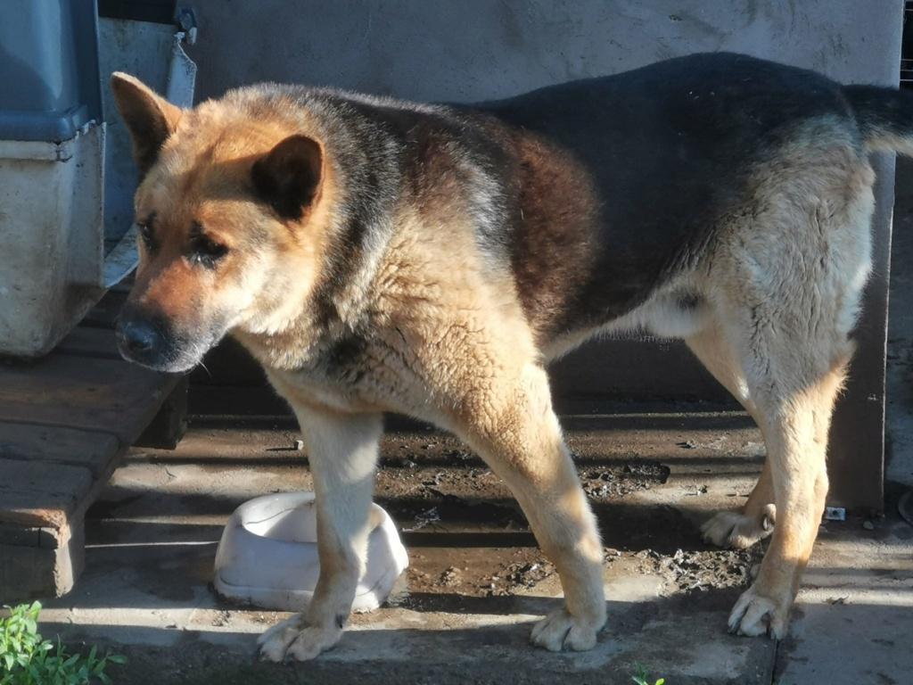 COLONEL - mâle Berger Allemand de grande taille, né en 2011 - (PASCANI) REMEMBER ME LAND - Page 3 61850710