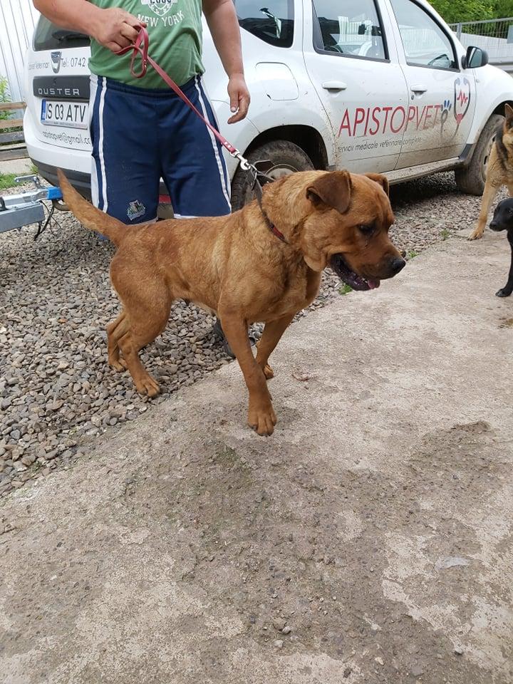 BRITNEY - femelle croisée Dogue de Bordeaux - grande taille -  née en 2011 - REMEMBER ME LAND 61960410