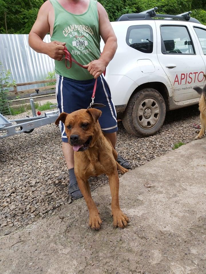 BRITNEY - femelle croisée Dogue de Bordeaux - grande taille -  née en 2011 - REMEMBER ME LAND 62497910