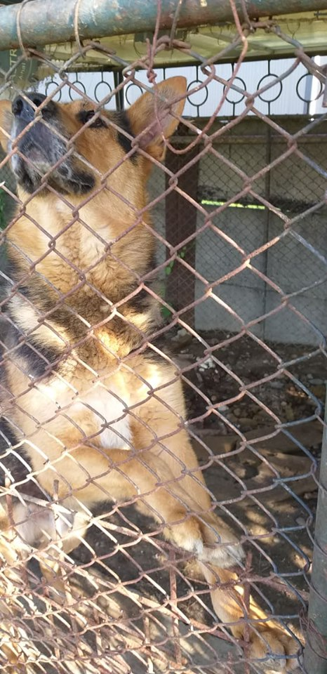 CAPORAL - Magnifique mâle Berger Allemand de grande taille - né en 2011 - (PASCANI) - REMEMBER ME LAND 65015910