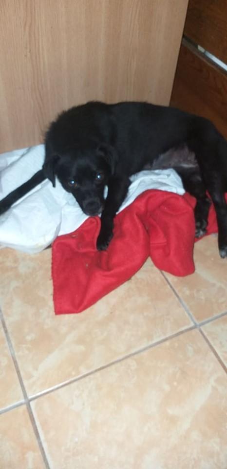 GYNNA - Adorable femelle handicapée, croisée de petite taille (6 kg) - née en début 2018 (Pascani)- à la clinique de Mircea (Bucarest)  65204510