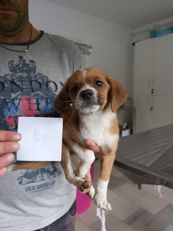 JUICY - Chiot femelle - taille petite à moyenne à l'âge adulte - Née en avril 2019 - REMEMBER ME LAND - PASCANI- réservée adoption par Julien (31) - Décédée  66229810