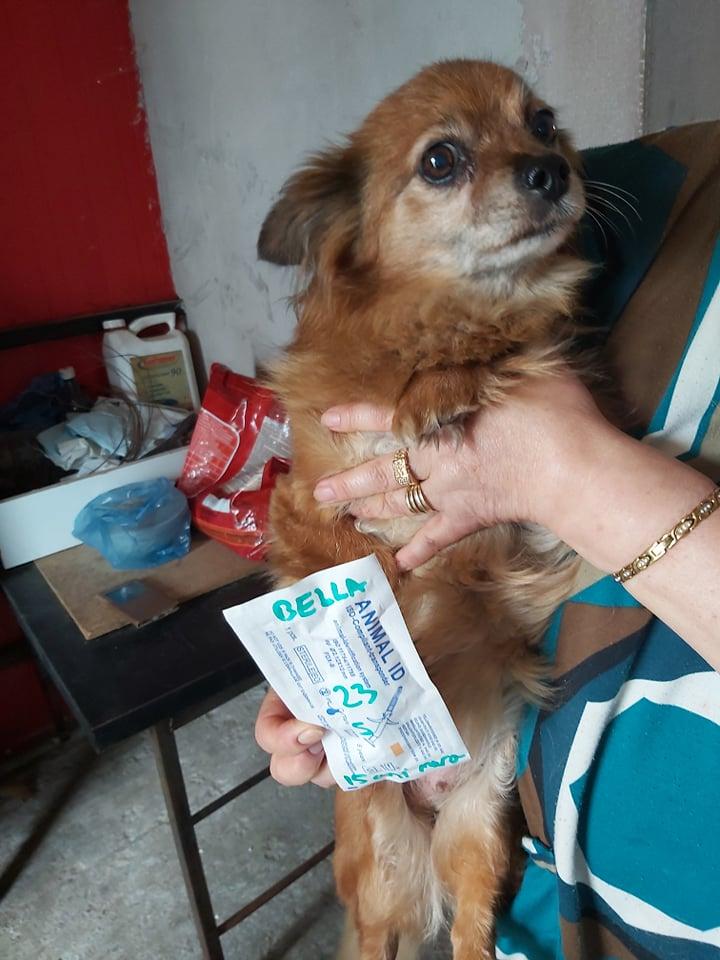 BELLA - Femelle croisée Chihuahua de petite taille (8 kg) - née en 2004 - Adoptée par Ingrid (27) 66420210