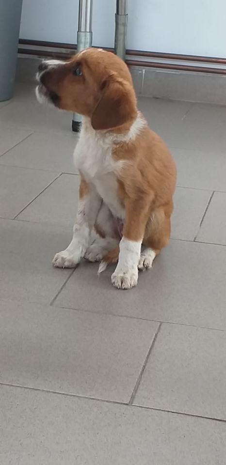 JUICY - Chiot femelle - taille petite à moyenne à l'âge adulte - Née en avril 2019 - REMEMBER ME LAND - PASCANI- réservée adoption par Julien (31) - Décédée  66496510
