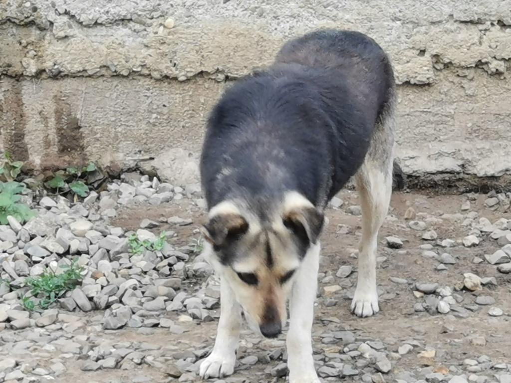 SHIRLEY - femelle croisée, de taille moyenne, née environ en 2011 (PASCANI) - REMEMBER ME LAND Shirle13