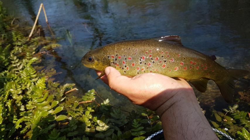 Neretva Sofmouth trout  - Page 2 Img-4510
