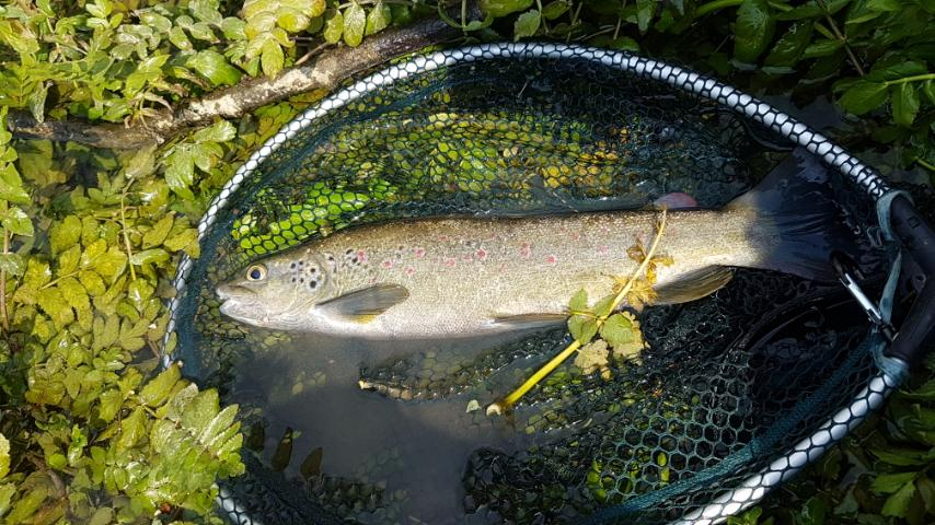 Neretva Sofmouth trout  Img-5411