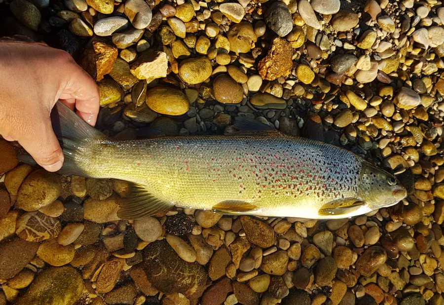 Neretva Sofmouth trout  Img-d110