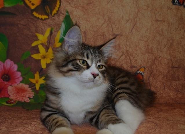 Котята Курильского бобтейла Dsc_6210