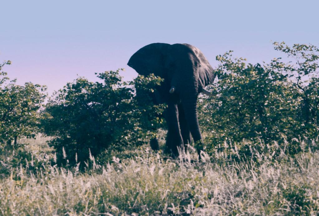 L'éléphant grincheux du Krüger Park Biglif10